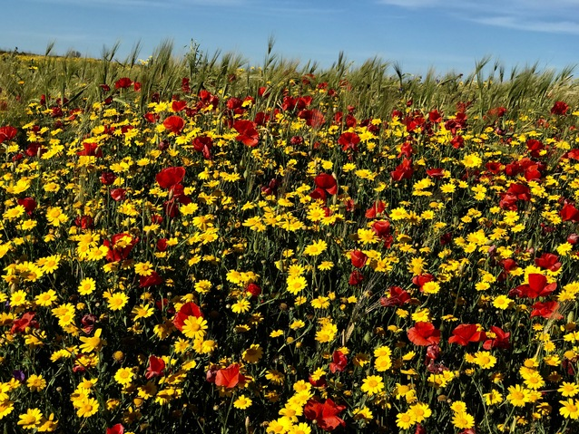 Moments Redefined | Richard Crangle and Kristine Fisher Red Poppies with Yellow Daisies