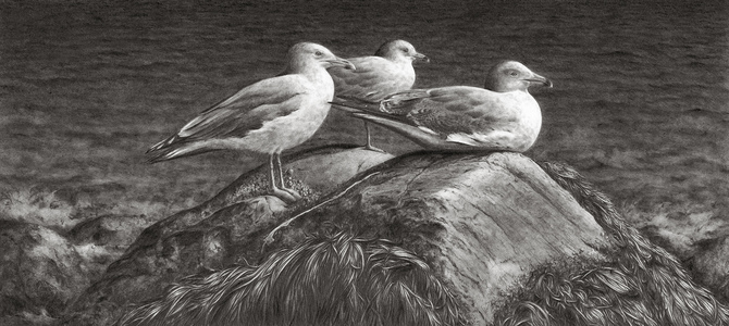 Karie O'Donnell Graphites Herring & Ring-billed Gulls