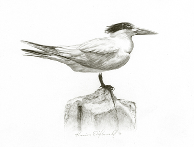 Karie O'Donnell Graphites Royal Tern