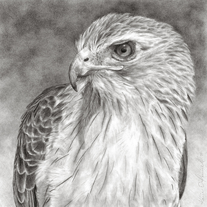 KARIE O'DONNELL Graphites  Red-tailed Hawk