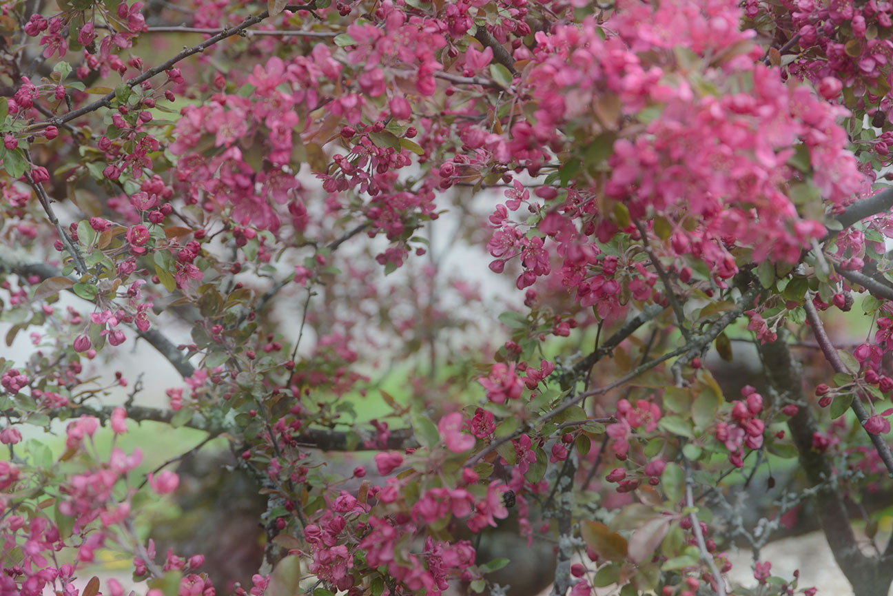 Flower Fruit May 6th, Japanese Crabapple Close-up