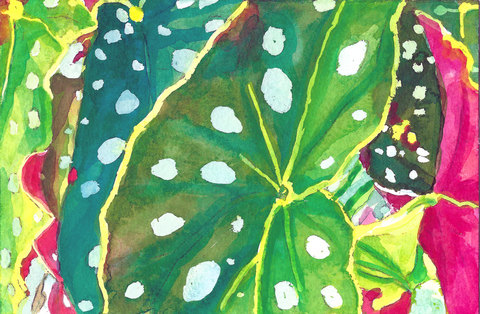 Plants Postcards From The Edge Begonia