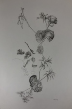 Katlin Evans Drawings graphite on vellum