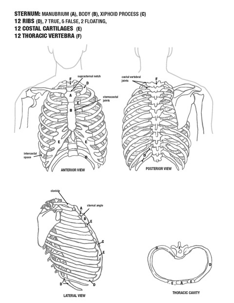 Kimberly Reinhardt Anatomy Illustrations