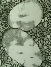 Lauren Kendrick Sleat Prints: etching, carborundum & monotypes monotype