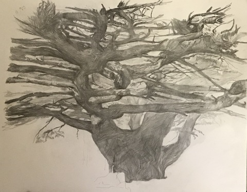 Martha Schlitt CEDARS OF LEBANON Graphite on paper