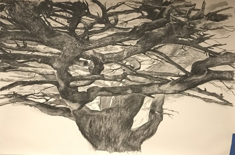 Martha Schlitt CEDARS OF LEBANON Charcoal on paper