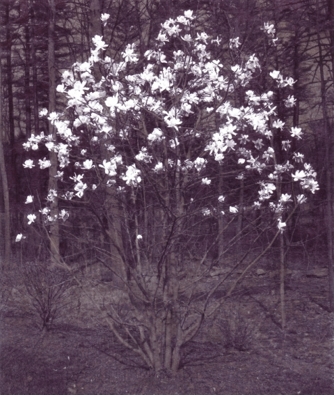 star magnolias Inkjet print, ink on paper