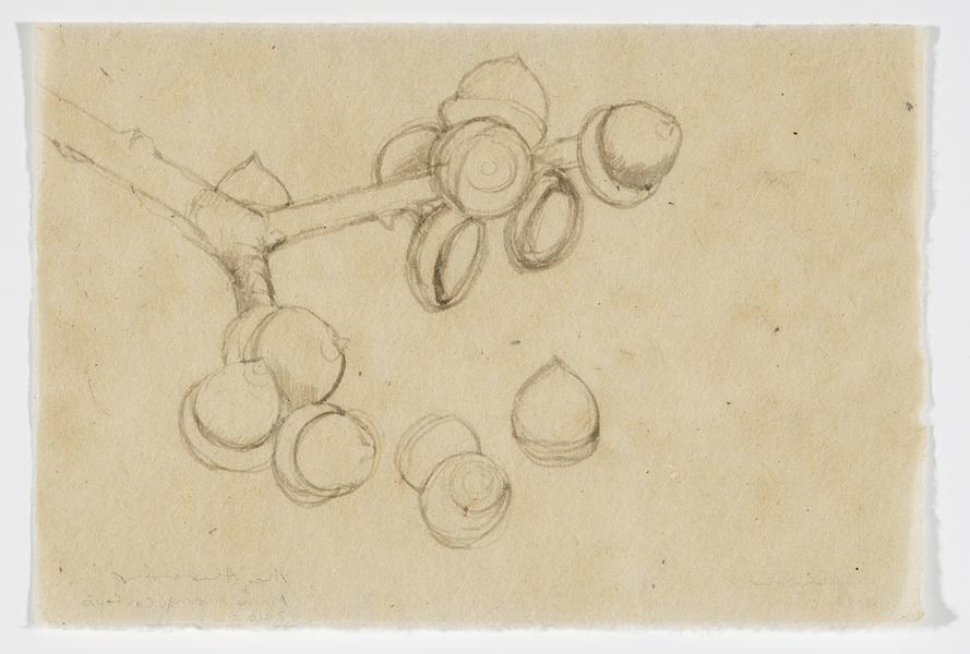 drawn from life Maine Acorn Study