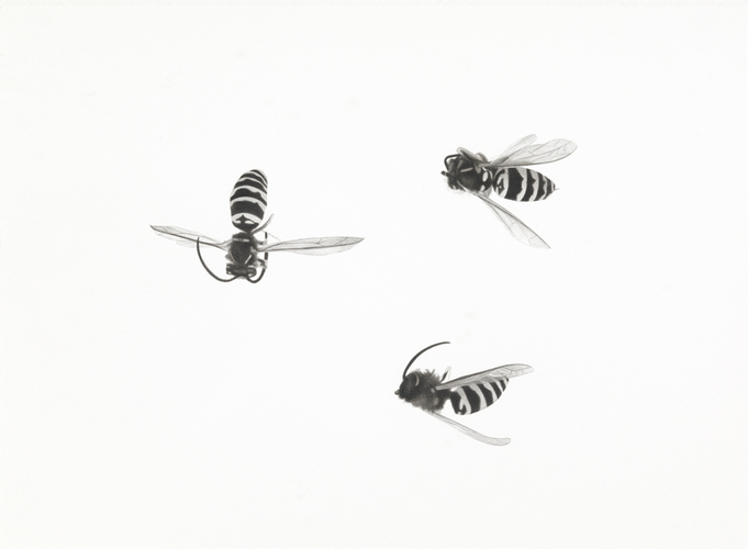 Meg Alexander bees India ink and wash on paper