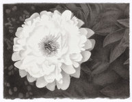Meg Alexander peony paradox series India ink on paper