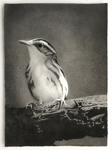Meg Alexander bird watching series India ink on paper