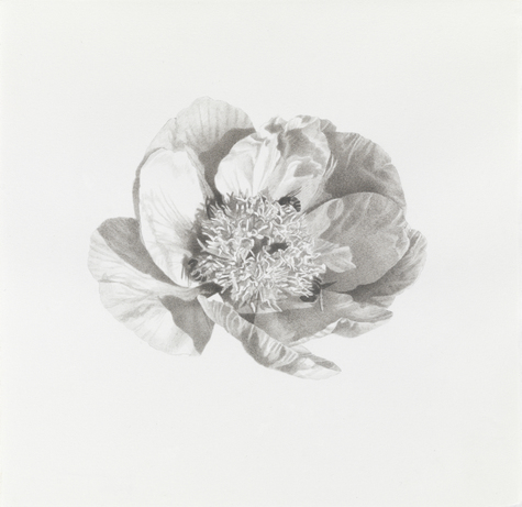 Meg Alexander marden peonies Ink, graphite on paper