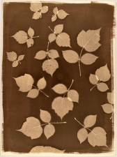 Ramsay Barnes Invasive / Poison : Maryland Invasive and Poisonous plant series VanDyke print on handmade paper
