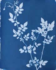 Ramsay Barnes Invasive / Poison : Maryland Invasive and Poisonous plant series Cyanotype on handmade paper