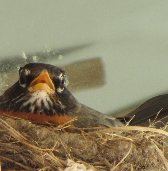Randy Brozen      Artist and Educator Photography Nesting Robin, Kiamesha Lake, NY