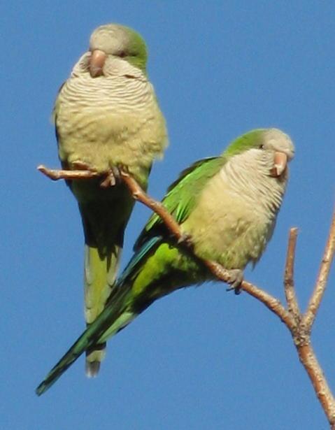 Randy Brozen      Artist and Educator Photography Green parrots, Fort Lee, NJ