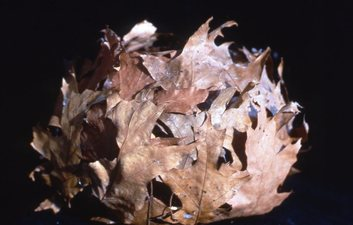 Randy Brozen      Artist and Educator Bryophyta oak leaves, willor reed