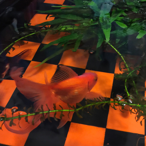 SALLY LELONG  Visibility Pond plexiglass with goldfish