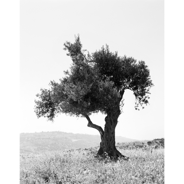<b>Facts on the Ground</b> Olive Tree #3, Occupied Territories