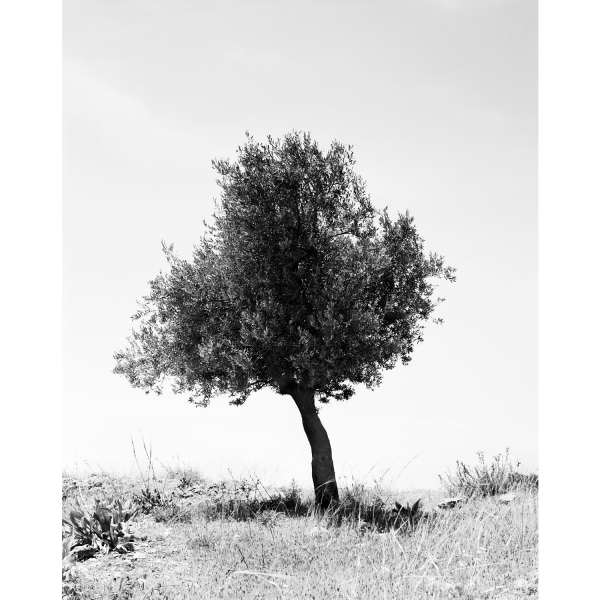 <b>Facts on the Ground</b> Olive Tree #5, Occupied Territories