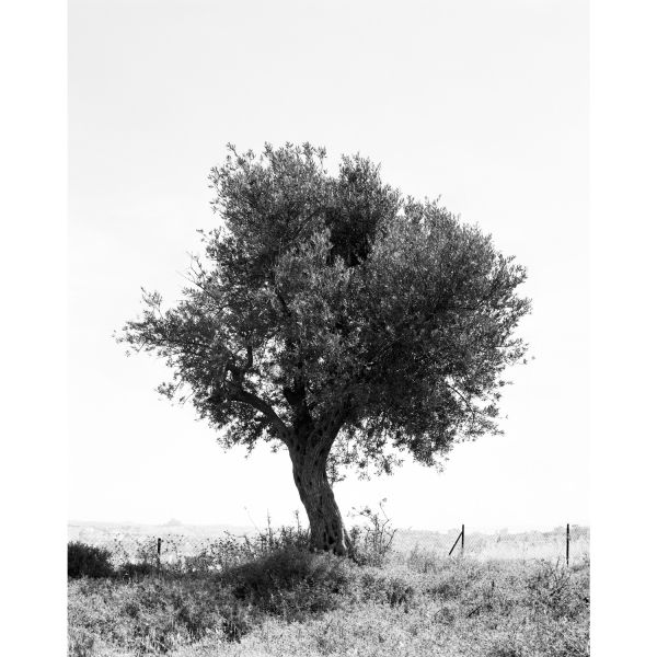 <b>Facts on the Ground</b> Olive Tree #12, Occupied Territories