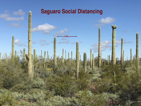 6 FEET Saguaro Social Distancing, near Lukeville, Arizona, USA